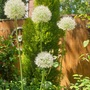 Alliums giant.