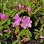 Rhododendron (Evergreen Azalea, Dwarf) 'Shiko Lavender'