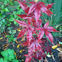 acer &#x27;bloodgood&#x27;