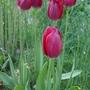 Tulipa_aximensis_2020