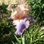 Iris Celebration Song