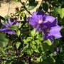 Clematis 'Lady Northcliffe'
