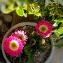 Hot Pink Gerbera (Gerbera Asteraceae)