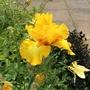 Iris 'Gold Galore'