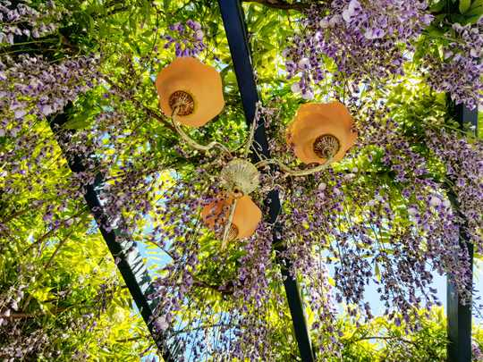 Coffee under the Wisteria....