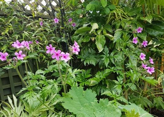 Hardy Geranium Palmatum..