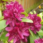 Close up of Rhododendron