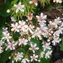 Saxifraga_hirsuta_flowers