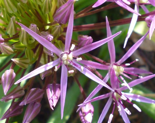 Allium cristophii (Allium cristophii (Ornamental onion))
