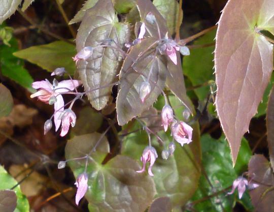 Epimedium Phoenix (Epimedium Phoenix = Emperor)