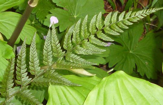 Polystichum tsus-simense (Polystichum tsus-simense)