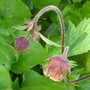 Geum rivale [water avens]