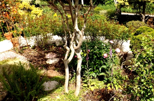 Twisted trunks of Cercis tree.