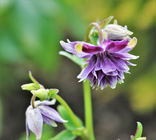 Aquilegia 'Christa Barlow' for my records