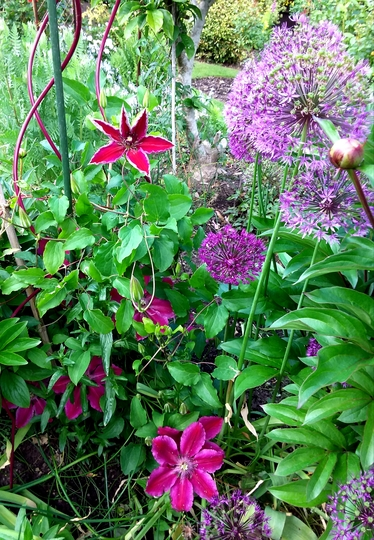 Clematis Ruby Wedding.