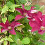 Clematis_rebecca_1