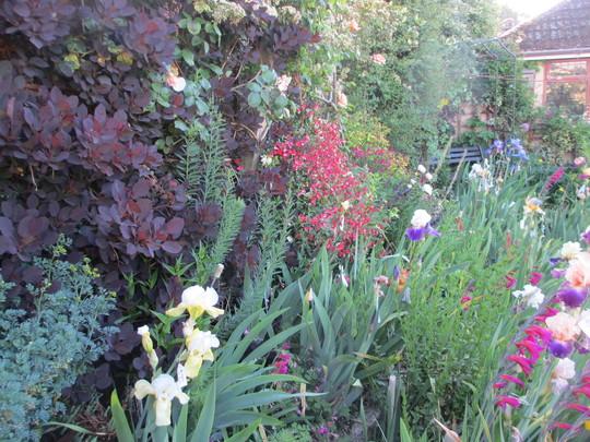 The Back Fence (Cotinus coggygria (Smoke bush))