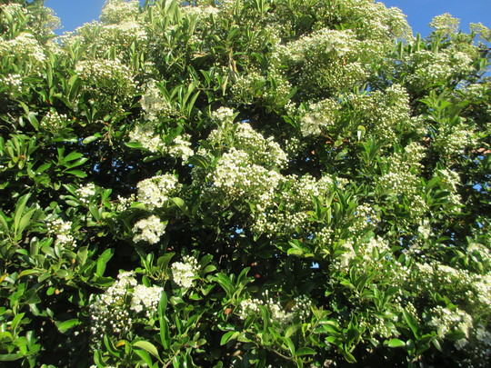 The left Fence (Pyracantha)
