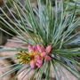 Pink pine cones on the Blue Spruce. (Picea pungens (Colorado Blue Spruce))