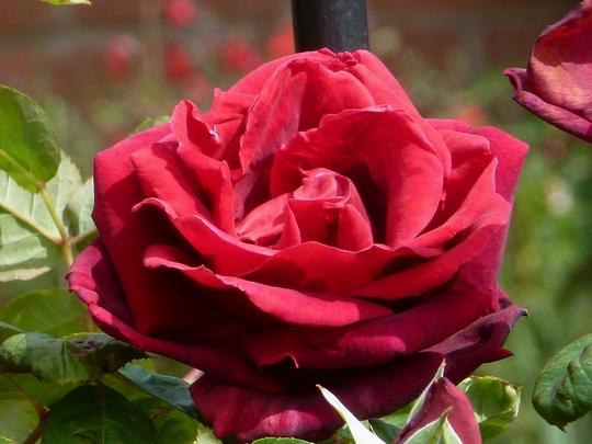 Rose Oklahoma