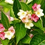 Weigela   Strawberrys  N Cream