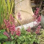 Flowering Heuchera