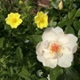 Rose 'Jacqueline du Pre' with potentilla Warrenii in small front garden border.