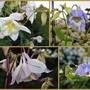 Four More Nature-Created Aquilegias