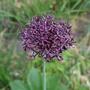 Allium_atropurpureum_2020