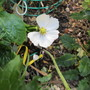 Podophyllum hexandrum chinensis (For my File) (Podophylum hexandrum chinense)