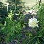 Cephalaria_gigantea_2020