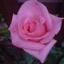 rosa high hopes  (Rosa 'High Hopes')
