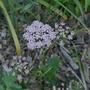 Chaerophyllum_hirsutum_roseum_2020