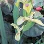 Iris pseudocorus Krill (Iris pseudocorus)