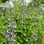 Baptista australis Purple smoke (Baptisia australis (purple smoke])