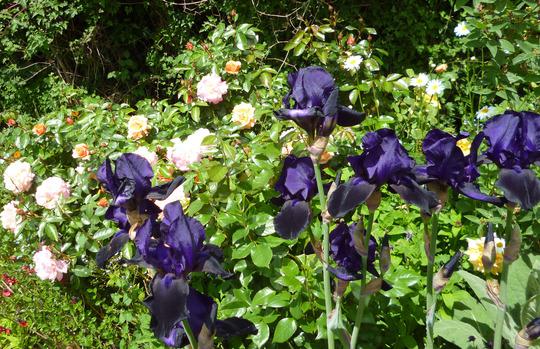 Black Swan and Rose Angelface (Iris)