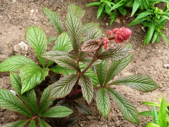 Rodersia podophylla   Rotlaub