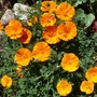Californian_poppy