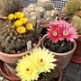 Flowering cacti in my polytunnel
