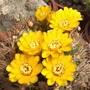 Flowering cactus - Weingartia neocumingii