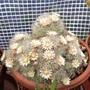 Flowering cactus - Mammillaria bocasana