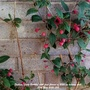 Fuchsia Lady Boothby with first flowers of 2020 on balcony wall 28th May 2020 002 (Fuchsia procumbens (Fuchsia))