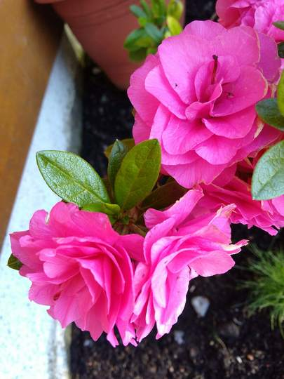 Double pink azalea