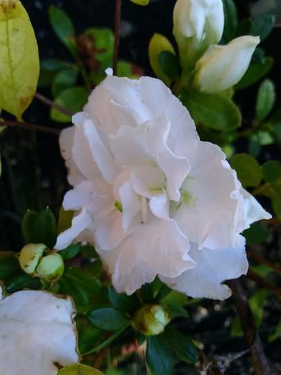 Double white azalea