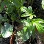Passiflora (edulis?)