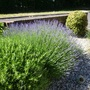 Lavender 'Hidcote' with Rosemary