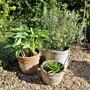 Rosemary, Hosta 'June' and White Agapanthus