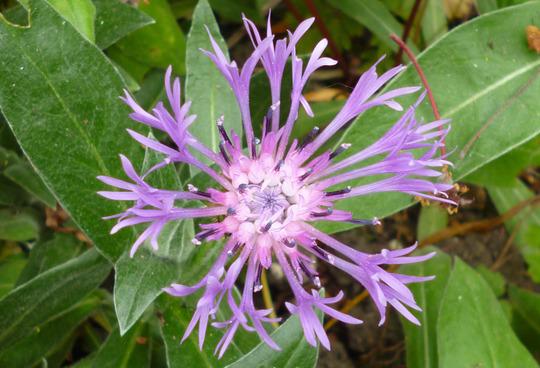 Centaurea  (Centaurea deelbata 'Steenbergii')