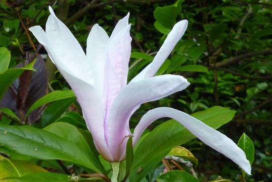 Magnolia Susan (Magnolia 'Susan')