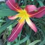 Hemerocallis Yabba Dabba Do (Geranium nodosum (Hardy geranium))
